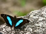 Blue Butterfly on a stone